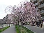 Sakurablg